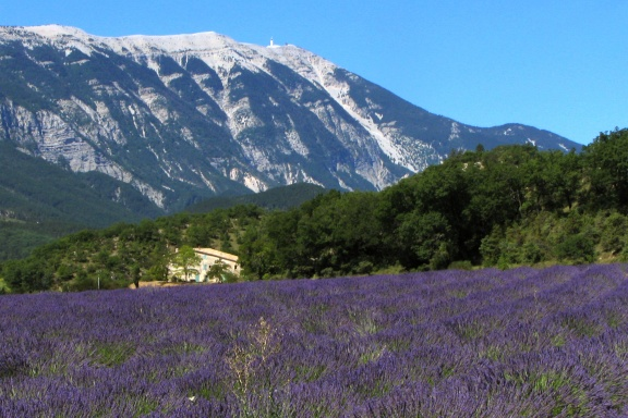 Lavender field and Mont Ventoux